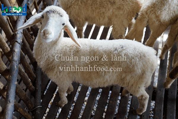 cừu con