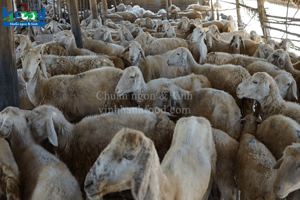 cừu lấy thịt