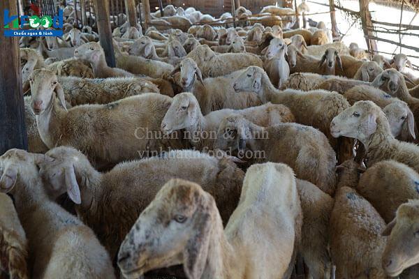 trang trại nuôi cừu lấy thịt