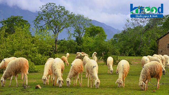 trang trại nuôi cừu tại Vinh Hạnh Food