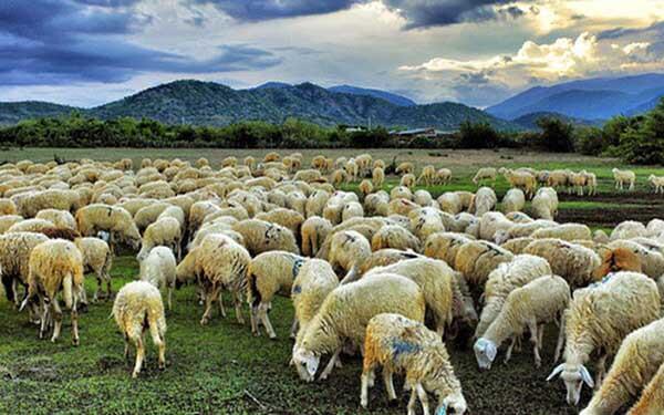 Có bao nhiêu loại cừu